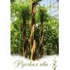 Живое витое дерево